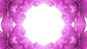 Opening Long Blooming Pink Flowers Farme Time Lapse Animation Isolated On White Background New Quality Wedding 3d Beautiful Holiday Natural Floral Cool Nice 4k Video Footage