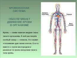 Презентация по окружающему миру на тему Организм человека класс Кровь самая важная жидкая ткань твоего организма В ней растворён особый са