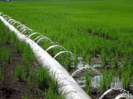 On Farm Furrow Irrigated Rice Results Mississippi Crop Situation