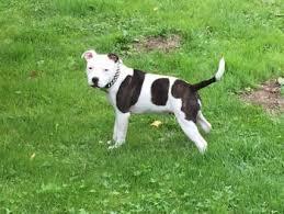 Puppy Growth Chart Osya Staffordshire Bull Terrier Female