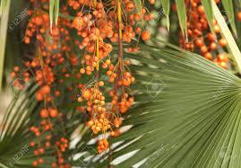 Palm Fruit Bunch Of Orange Palm Fruit On Palm Tree Stock Photo Palm Tree Orange Fruit
