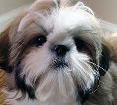 shih tzu the best gift ever gave me
