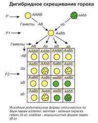 Контрольная работа биологии класса по теме Решение генетических  Контрольная работа биологии 9 класса по теме Решение генетических задач