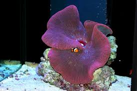 carpet anemone. while all large carpet anemone species need intense lighting, the gigantic will require most intense. occurs o