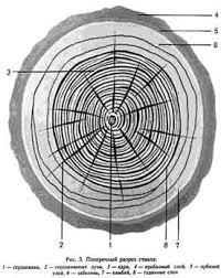 Реферат Древесина строение свойства продукция переработки  Корни мелкие и грубые Функции удерживают дерево в вертикальном положении проводят воду с растворенными в ней минеральными веществами вверх по стволу