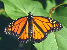 Of Monarch Virginia West State Butterfly