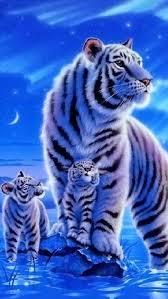baby white tigers wallpaper. Plain Wallpaper White Tiger W Babies On Baby Tigers Wallpaper