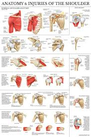 Laminated Anatomical Charts Laminated Anatomy And Injuries Of The Shoulder Poster