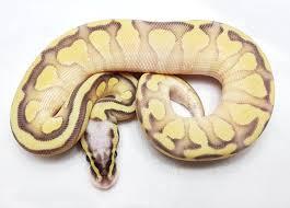 Designer Morphs Western Hognose Snakes Enchi Super Pastel Lesser Ball Python By Belgian Designer