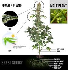 Cannabis Plant Growth Chart The Parts Of The Cannabis Plant