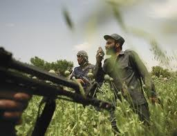 the taliban s opium war the new yorker while destroying a field of opium poppies in uruzgan province members of the afghan eradication force came under fire in an ambush apparently orchestrated