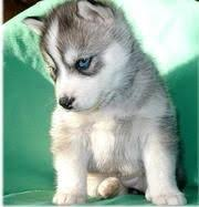 grey husky puppies with blue eyes. Perfect Grey Grey Siberian Husky Puppy With Blue Eyes Throughout Puppies Pinterest