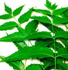 "neem leaves a powerful healing herb"" dr paul haider pulse  ""neem leaves a powerful healing herb"" dr paul haider pulse linkedin"