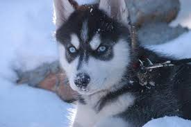 dark red husky puppy. Interesting Puppy Throughout Dark Red Husky Puppy S