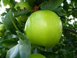 green apple fruit tree. green apple fruit rain tree