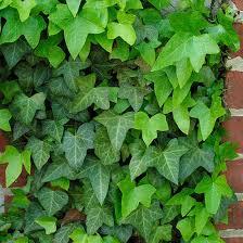 Resultado de imagen de ivy planta