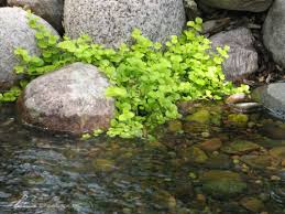 creeping jenny pond plants
