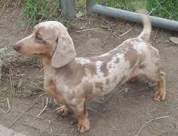 Dachshund Color Chart Dachshund Dog Breed Information And Pictures