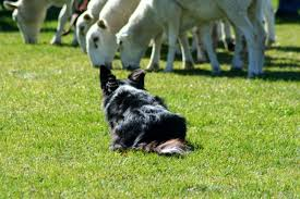 jack russell terrier border collie mix. Simple Terrier A Border Jack Gets A Strong Work Ethic From His Parents To Jack Russell Terrier Border Collie Mix B
