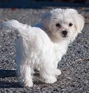 Teacup Maltese Growth Chart Maltese Weight Chart Issues Information