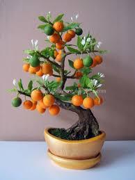 Changshou Kumquat Fortunella Obovata U0027Fukushuu0027  Citrus Plants Kumquat Tree Not Bearing Fruit