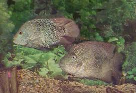Texas Cichlid Herichthys Cyanoguttatus Rio Grande Perch