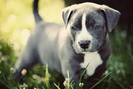 cute pitbull puppies wallpaper. Contemporary Cute Cute Pitbull Puppies To Wallpaper