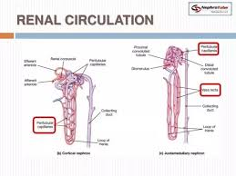 Pathway Of Blood Flow To The Right Kidney Flow Chart What Is The The Path Of Blood Flow Through The Kidney Quora
