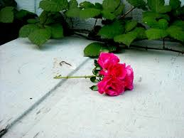 Like a Rose Trampled On the Ground. | aalexis™