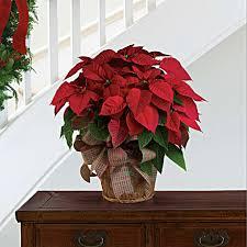Large Red Poinsettia Bouquet - Teleflora