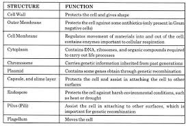 Bacteria Classification Bacteria Definition Morphology Classification And