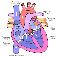 heart diagram heart disease in cat morgan projects heart diagram heart disease in cat