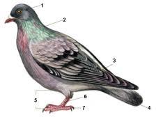 Контрольная работа Внешнее строение птицы биология уроки Рисунок 1
