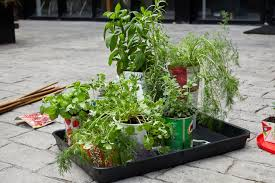 how to grow herbs chillies in your