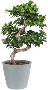 Scegliete una pianta cascante che con le sue foglie trasformerà un angolo in una picolla cascata di verde! Ficus Ginseng Bonsai Piante Verdi Da Interno Altezza 70 Cm Vaso 27 Cm Regalo Giapponese Amazon It Giardino E Giardinaggio
