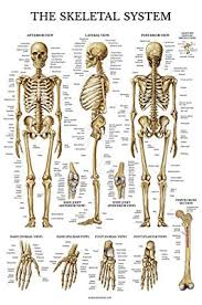Laminated Anatomy Charts Skeletal System Anatomical Chart Laminated Human