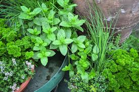 herbs are simple to grow and there are varieties to suit any type of garden image goodmood photo