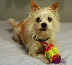 silky dog white. australian silky terrier dog white