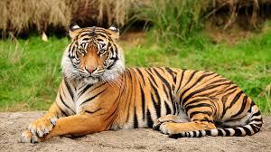 tiger wallpaper high resolution. Modren Resolution Tiger Awesome 1080p Wallpaper To High Resolution
