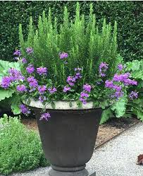 best plants for pots outdoor rosemary and verbena happy together at the kitchen garden at the best plants for pots outdoor