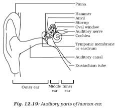 ncert class ix science chapter 12 sound aglasem schools Diagram Of Human Ear For Class 8 the outer ear is called 'pinna' it collects the sound from the surroundings the collected sound passes through the auditory canal diagram of human ear for class 8