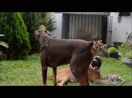 pitbull dog vs doberman. Interesting Doberman In Pitbull Dog Vs Doberman
