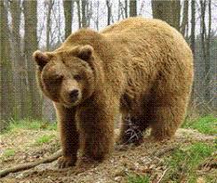 Risultati immagini per orso marsicano d'abruzzo
