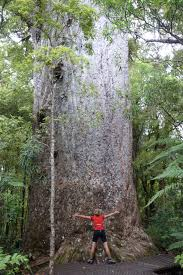 walking among the giants of waipoua forest conservation blog yakas kauri tree photo beverley bacon