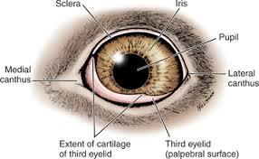 Eyelid Anatomy Third Eyelid Veterian Key