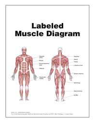 muscle diagram   you can do more labeled muscle diagram