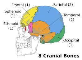 wiring diagram parallel aw1004m wiring library the skull boundless anatomy and physiology rh courses lumenlearning com cranial bones diagram quiz cranial bone