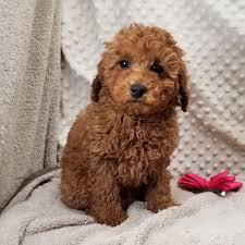ckc miniature poodle