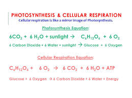 photosynthesis cellular respiration model novee org photosynthesis and cellular respiration essay question