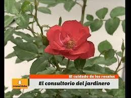 Cuidado De Los Rosales Tijeras De Podar Arbustos Rosas Cortadas Cuidados De Los Rosales